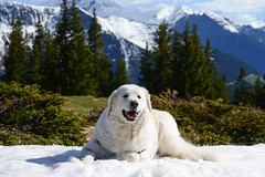 Once upon a time there was a young lad with mischief in his heart and snow on his mind. (balu51) Tags: abendspaziergang alp waldrand schnee hund kuvasz ungarischerhirtenhund spass freude landschaft berge eveningstroll dog fun enjoying snow happy landscape mountains forest spring graubünden surselva mai 2019 copyrightbybalu51 yes