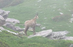 chamois dans la brume (b.four) Tags: chamois camoscio verrairiers gordolasque hautevésubie alpesmaritimes brume mist nebbia