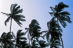 V46-22+.jpg (vettes.f) Tags: albumsetsélections thème v03v04 albumsv v04 lieux ghana arbres accra régiondugrandaccra