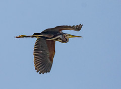 Purple-heron_1054 (Peter Warne-Epping Forest) Tags: purpleheron salbufera majorca peterwarne