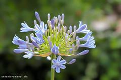 Agapantus (RoLiXiA) Tags: sardegna sardinia sardaigne sardinien cerdeña elmas fiore flower agapantus botanica natura giardino macro nikond90 sigma105