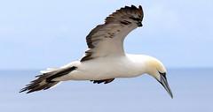 So schön ... (♥ ♥ ♥ flickrsprotte♥ ♥ ♥) Tags: natur felsen helgoland vögel basstölpel