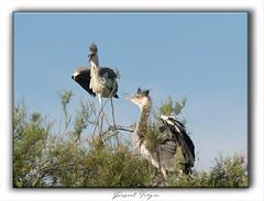 Héron-002-juin2019 (photographe 60) Tags: échassier bird héroncendré herongardeboeuf migration oisaeu ornithologie pascalvergne pascalvergnephotographeoise