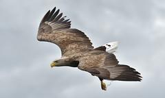 White-Tailed Eagle (KHR Images) Tags: whitetailedeagle seaeagle haliaeetusalbicilla wild bird birdofprey isleofmull innerhebrides scotland scottish wildlife nature nikon d500 kevinrobson khrimages