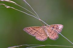 Kollane kuluvaksik; Idaea serpentata; Ochraceous Wave (urmas ojango) Tags: lepidoptera liblikalised insecta putukad insects moth vaksiklased geometridae nationalmothweek kollanekuluvaksik idaeaserpentata ochraceouswave
