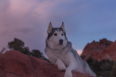 Aurora (Cruzin Canines Photography) Tags: aurora animal animals canon canoneos5ds canon5ds canine 5ds eos5ds dog dogs pet pets portrait outdoors outside husky huskies alaskanhusky siberianhusky gardenofthegods colorado coloradosprings