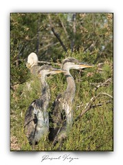 Héron-001-juin2019 (photographe 60) Tags: échassier bird héroncendré herongardeboeuf migration oisaeu ornithologie pascalvergne pascalvergnephotographeoise