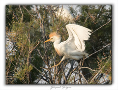 héron garde-boeufs-001-juin2019 (photographe 60) Tags: échassier bird héroncendré herongardeboeuf migration oisaeu ornithologie pascalvergne pascalvergnephotographeoise