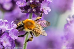 A bee collecting honey. ([DR]TopDog) Tags: bee biene flowers blumen honig honey insect insekt natur nature summer sommer pirmasens derseibel