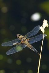 DSC05998 - Four spotted Chaser (steve R J) Tags: four spotted chaser river chelmer boreham paper mill lock dragonfly british odonata