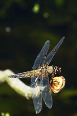 DSC05995 - Four spotted Chaser (steve R J) Tags: four spotted chaser river chelmer boreham paper mill lock dragonfly british odonata