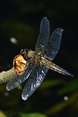 DSC05992 - Four spotted Chaser (steve R J) Tags: four spotted chaser river chelmer boreham paper mill lock dragonfly british odonata