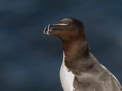 Razorbill (alanrharris53) Tags: razorbill bird aves northumberland farne islands seabird