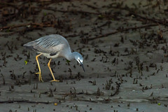 Something Moved ... (armct) Tags: egrettanovaehollandiae whitefaced heron wader bird water wading native indigenous australia creek estuary bereebadalla conservation wetland mangrove poise hunting feeding sunrise breeding plumage iridescent feather