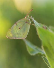 Postillon Weibchen (MC--80) Tags: colias croceus postillon weibchen