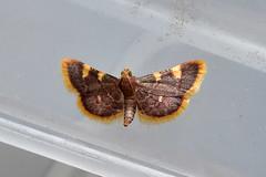 Gold Triangle ... Hypsopygia costalis (AndyorDij) Tags: goldtriangle hypsopygiacostalis moth nationalmothweek insect andrewdejardin england empingham insects empinghammoths rutland uk unitedkingdom lepidoptera