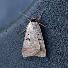 Blackneck ... Lygephila pastinum (AndyorDij) Tags: blackneck uk england insect unitedkingdom moth insects lepidoptera rutland empingham lygephilapastinum nationalmothweek andrewdejardin empinghammoths