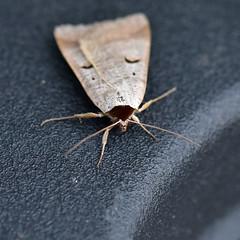 Blackneck ... Lygephila pastinum (AndyorDij) Tags: blackneck lygephilapastinum moth nationalmothweek insect andrewdejardin england empingham insects empinghammoths rutland uk unitedkingdom lepidoptera
