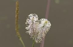 HoaryPlantain (Tony Tooth) Tags: nikon d600 nikkor 105mm flower wildflower hoaryplantain plantagomedia caldoncanal stocktonbrook staffs staffordshire