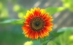 Tournesol (mamietherese1) Tags: coth coth5 ngc awesomeblossoms legacy world100f earthmarvels50earthfaves npc thegalaxy