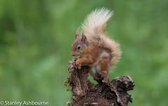 Red Squirrel (stanley.ashbourne) Tags: redsquirrel nature wildlife stanashbourne wildlifephotography stanashbournephotography
