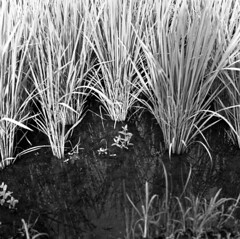 Three-month-old rice plant (odeleapple) Tags: zenza bronica s2 nikkorp 75mm neopan100acros film monochrome analog bw rice paddy field