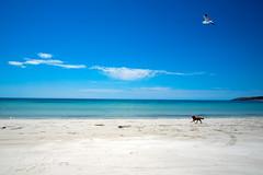 Emu Bay, Kangaroo Island (59ling) Tags: beach whitesand dog seagull kangarooisland emubay australia