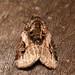 pink-barred pseudeustrotia (Pseudeustrotia carneola)