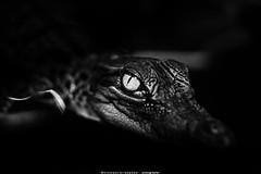 The eye (terkhomson) Tags: aggressive alligator animal beast bite blackwhite closeup creature crocodile danger eye farm fear fierce forest head hunting jungle lake leather nature river skin tropical wild