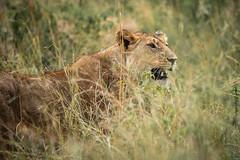 Masai Mara-6 (FlyLoveTw) Tags: africa kenya masai mara safari 非洲 肯亞 獵遊 big5