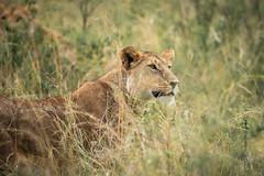 Masai Mara-5 (FlyLoveTw) Tags: africa kenya masai mara safari 非洲 肯亞 獵遊 big5