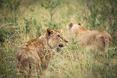 Masai Mara-4 (FlyLoveTw) Tags: africa kenya masai mara safari 非洲 肯亞 獵遊 big5