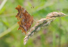 Comma (badger2028) Tags: comma butterfly underwing