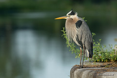 Hunkered down (Earl Reinink) Tags: heron greatblueheron water river nature bird animal wall canal outdoors earlreinink ieadtuodea