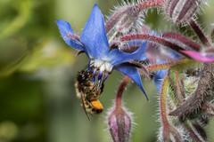 Give me your nectar... (Mighty Badaboom) Tags: bee biene nektar nectar flower macro makro wildlife garden insekt insect
