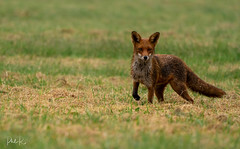 Brutally Beautiful (PhilR1000) Tags: fox redfox animal wild vulpesvulpes field grass