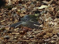 Great Tit Sunbather (river crane sanctuary) Tags: greattit rivercranesanctuary sunbather nature wildlife bird