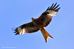 Milan royal (Milvus milvus) (146) (Didier Schürch) Tags: nature foret ciel animal oiseau rapace milanroyal milvusmilvus birdseurope birdsgallery bird wildlife europe switzerland ngc