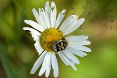 bug on flower (Håkan Jylhä (Thanks for +1000000 views)) Tags: håkan jylhä sommar summer sweden sverige prästkrage vit white sony rx10iv humlebagge beebeatle