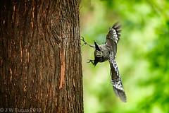 The Liftoff (jwfuqua-photography) Tags: redbelliedwoodpecker newbritain nature birds peacevalleynaturecenter woodpecker pennsylvania jwfuquaphotography buckscountyparks buckscounty jerrywfuqua