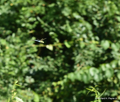 Common Green Darner_1958_00001-001 (Henryr10) Tags: woodlandmound hamiltoncountyparkdistrict cincinnati greatparksofhamiltoncounty ohio usa anaxjunius anax odonata libélula dragonfly dragonflies libellula libellule libelle drekafluga commongreendarner greendarner darner aeshnidae