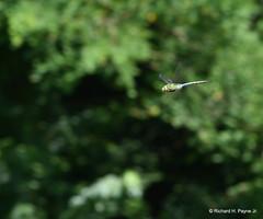 Common Green Darner_1953_00001-001 (Henryr10) Tags: woodlandmound hamiltoncountyparkdistrict cincinnati greatparksofhamiltoncounty ohio usa anaxjunius anax odonata libélula dragonfly dragonflies libellula libellule libelle drekafluga commongreendarner greendarner darner aeshnidae