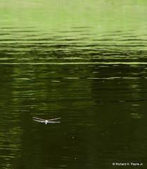 Common Green Darner_2118_00001-001 (Henryr10) Tags: woodlandmound hamiltoncountyparkdistrict cincinnati greatparksofhamiltoncounty ohio usa anaxjunius anax odonata libélula dragonfly dragonflies libellula libellule libelle drekafluga commongreendarner greendarner darner aeshnidae
