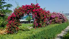 rafz_49_26062019_09'44 (eduard43) Tags: rosen blumen flowers hecke rafz hauenstein 2019