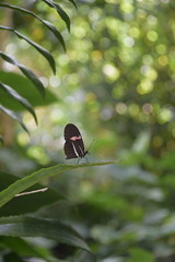 The dandy (hannacsilla) Tags: butterfly heliconius insect blumeninsel