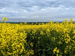 Holy Cannoli! That's A Lot Of Canola | Alberta, Canada (TheNovaScotian1991) Tags: field crop canola plants flowers yellowfields alberta canada rapeseed beautiful outdoor landscape googlepixel3xl