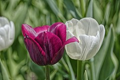 Rouge et blanc (GEMLAFOTO) Tags: canadiantulipfestival festivalcanadiendestulipes tulips tulipes fleurs flowers michelgauthier nikond7100