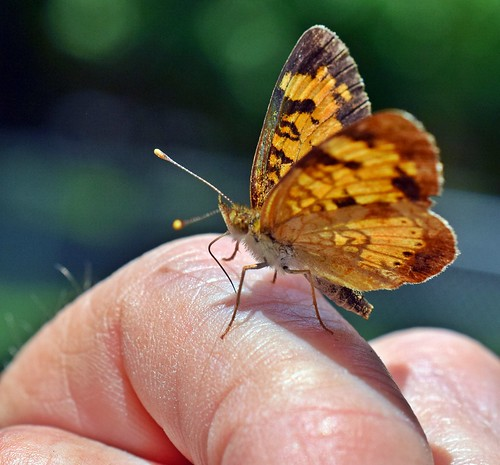 Male Pearl Cresent Butterfly