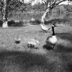 canadian-geese (kaumpphoto) Tags: rolleiflex 120 tlr street ilford hp5 bw black white gosling young parents birds grass lake minneapolis nature outside outdoors