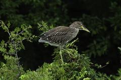Walk Like a Heron (martytdx) Tags: oceancity nj birding birds oceancitywelcomecenter wadingbird heron nightheron blackcrownednightheron nycticoraxnycticorax nycticorax ardeidae immature rookery